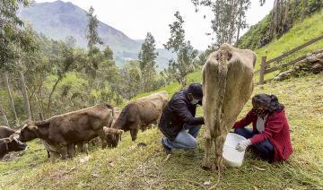 Ganaderos lecheros piden medidas para paliar alza de costos