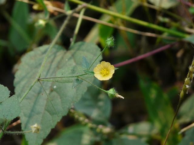 Sida mysorensis Wight & Arn.