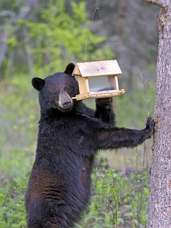 An upright black bear, looking at the camera, pawing at a yellow bird feeder hanging from a tree