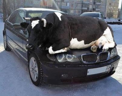 E46 BMW 3                                                           Series Cow                                                           Edition :-) -                                                           Omg how in the                                                           hell did he