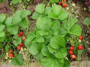 Everest strawberries - on May day a fw years ago