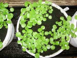 Young watercress plants from cuttings, in recycled buckets on a grow bag tray. Easy to ensure they don't go short of moisture they need to grow well.