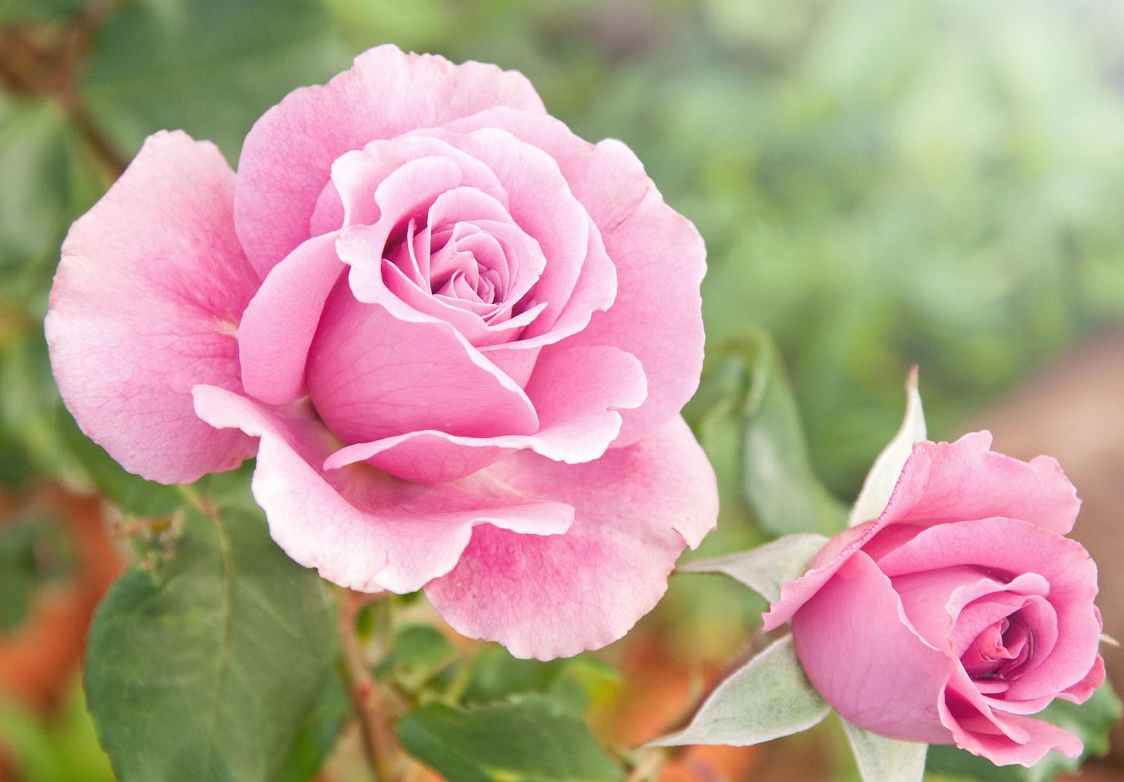 Roser til haven - her er de bedste sorter og sådan passer du dem
