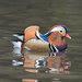 Un pato mandarín no nativo de la natación en la charca en Central Park el domingo. observadores de aves locales y funcionarios de vida silvestre están confundidos acerca de cómo llegó hasta allí.