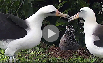 Watch these Laysan Albatrosses practicing courtship