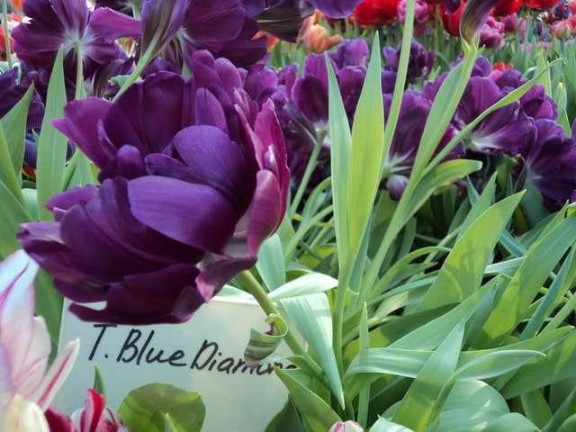 тюльпаны фото фиолетовые