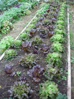 One of this year's beds of luscious loose-leaf winter lettuce