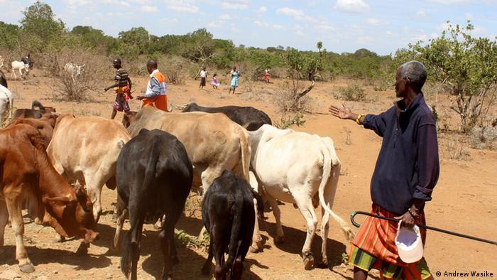 Rebanho de vacas e pastores em savana no Quênia