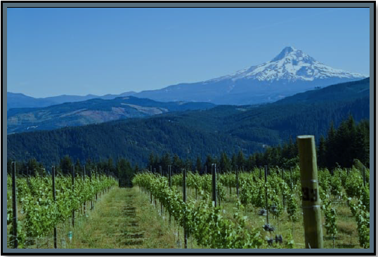 Oregon Vineyard