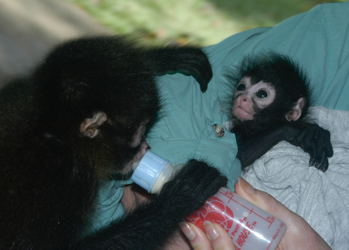 Bottle feeding spider monkeys