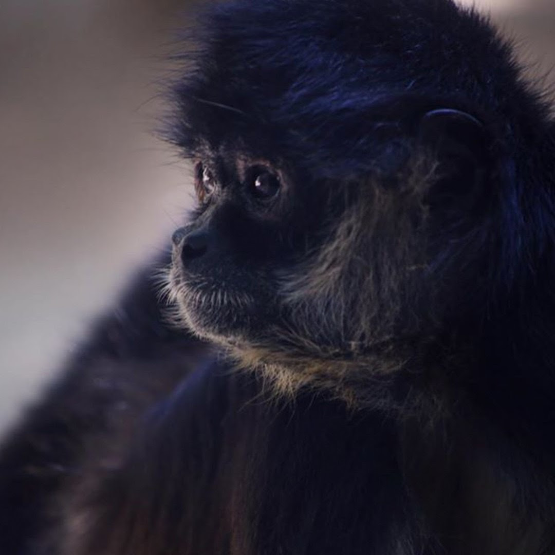 Side profile of the head of a dark spider monkey