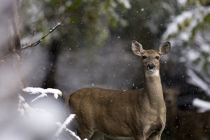 side body, full face view of a white-tailed deer, some snow on the trees