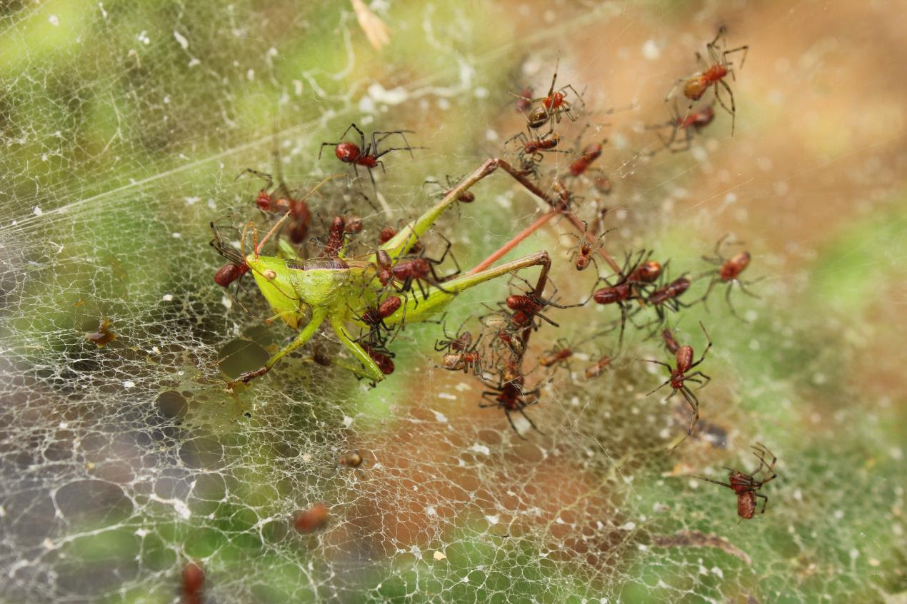 Social spiders catching prey cooperatively in Ecuador