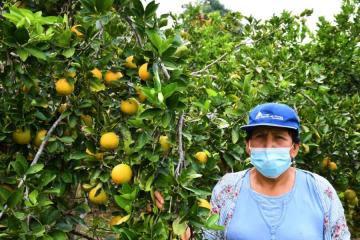 Agricultores de naranja de San Martín aumentan producción de 10 a 40 toneladas por hectárea