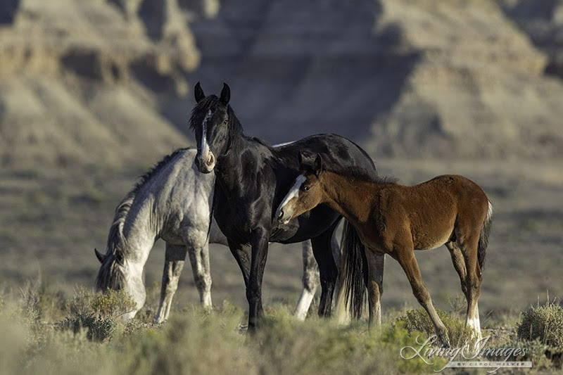 Protect the iconic wild horses of the Wyoming Checkerboard!