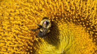 Bumble Bee Disease Flowering Strip Plants