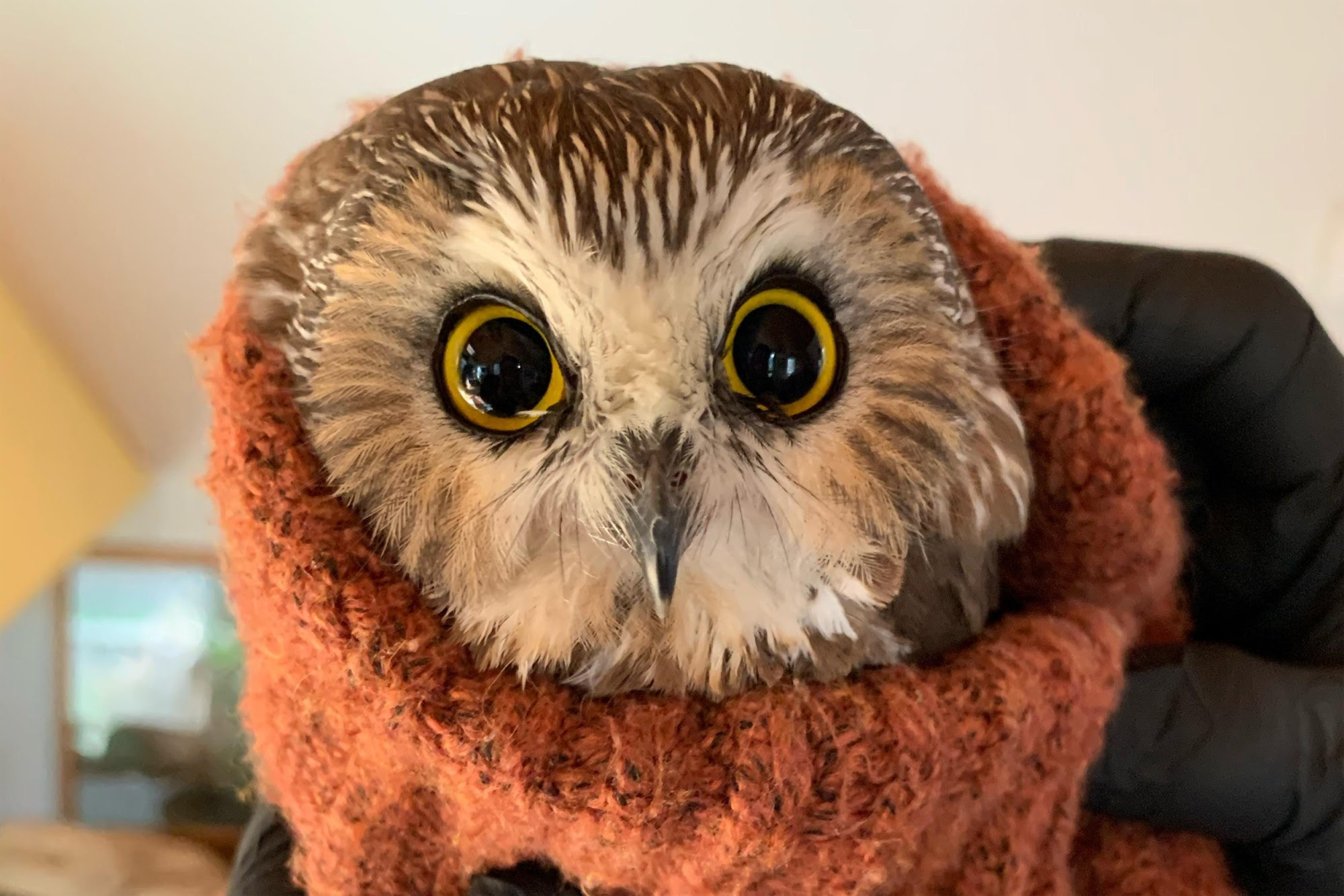 Rocky, the tiny owl rescued from the Rockefeller Center Christmas tree