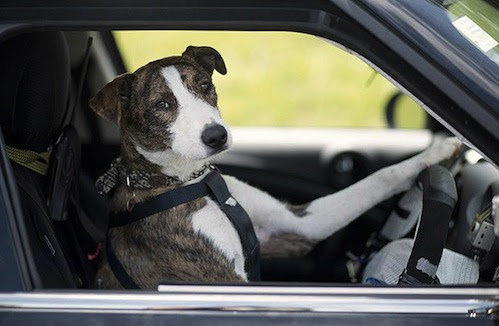 Image result for greyhound driving a car