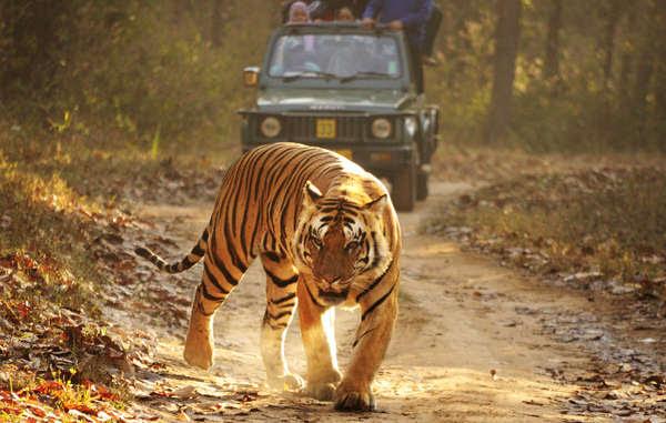 Il declino sconcertante nel numero di tigri in India è stato provocato principalmente dalla caccia praticata dai colonialisti e dai cacciatori d'élite, e non dai popoli indigeni che convivono da millenni con questo felino.