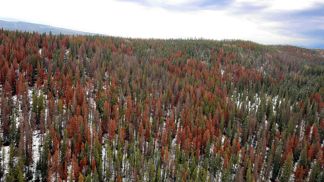 Mountain pine beetle management gets funding boost