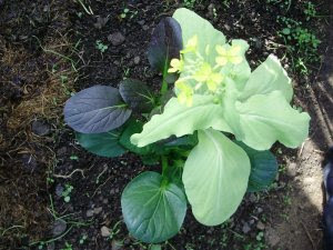 Pak Choi 'colour and Crunch' -shoots on lemon coloured plants flowering soonest - 2.10.14