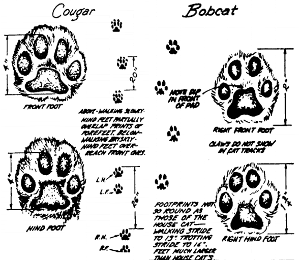identify animal tracks illustration cougar bobcat paws