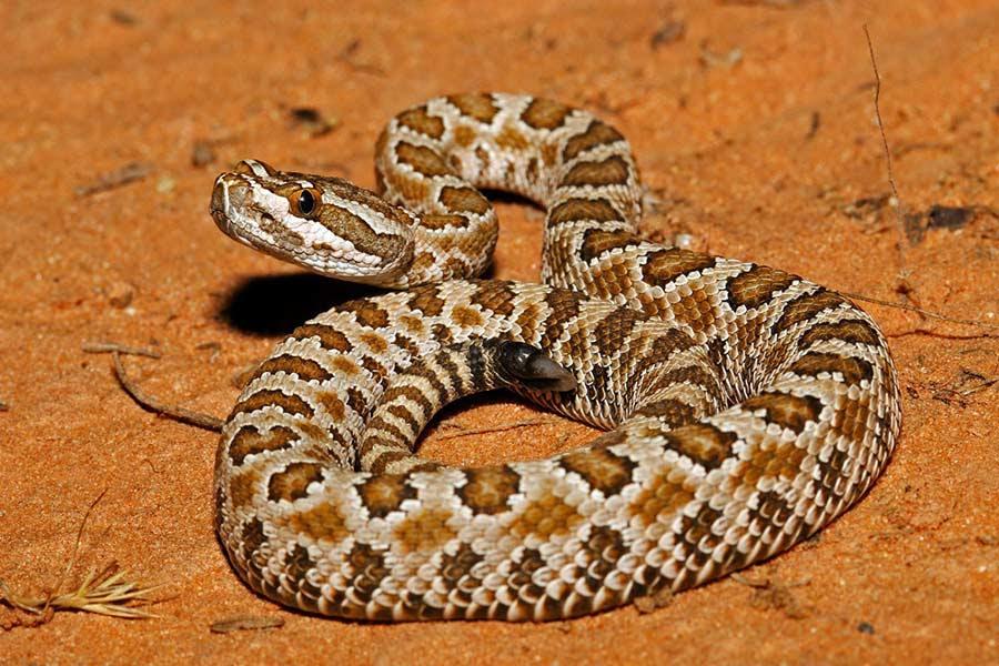 Rattlesnake in the desert