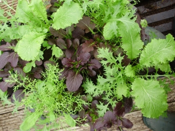 Lush, fast-growing mixed Oriental salads in a large pot