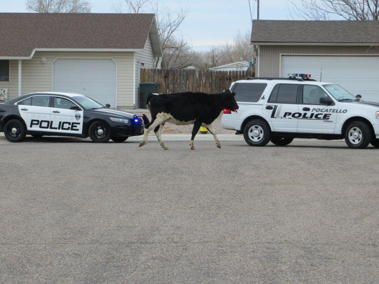 Cows on the loose