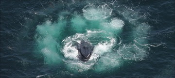 Bubble-feeding Humpback