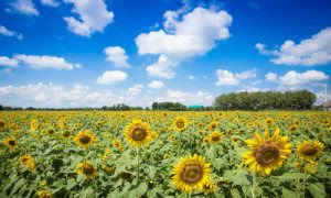 Sunflower fields in Central Thailand 05_L