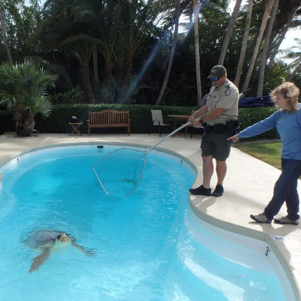 Turtle in Pool