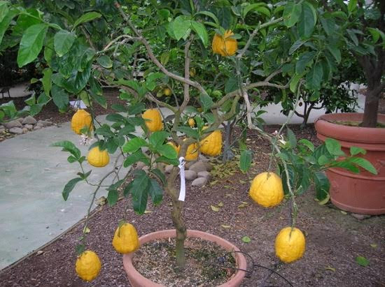 citrus in pot