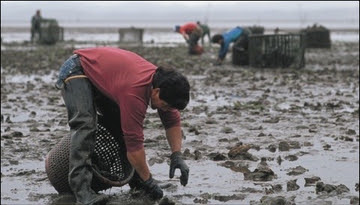 Shellfish aquaculture