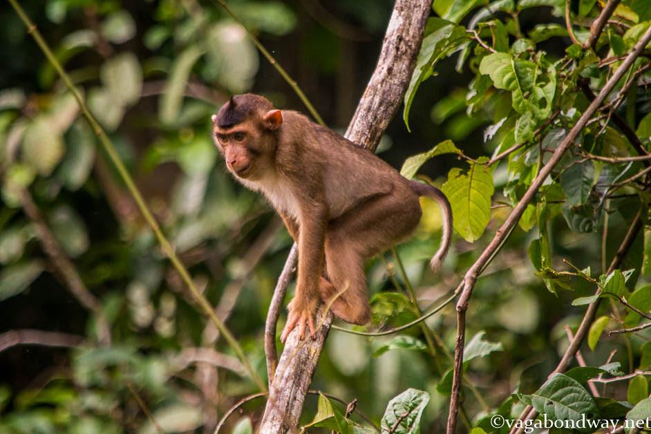 pig-tailed-monkey-kinabatangan-borneo