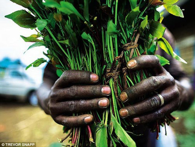 Lá Khát có lượng tiêu thụ rất lớn tại châu Phi.