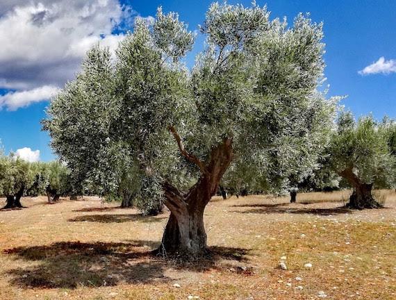 Greek Olive Tree Adoption Unique Gift from Kalamata Free | Etsy