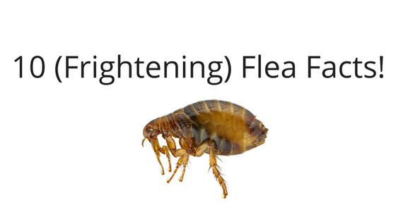 10 Frightening Flea Facts