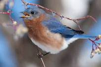 An eastern bluebird resting on a branch.