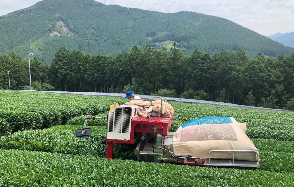 Tencha Harvest Season