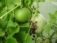 Melon 'Country Taste' climbing through grape 'Muscat Bleu' 21.8.13