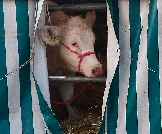 Cow peering out of tent at Ploughing
