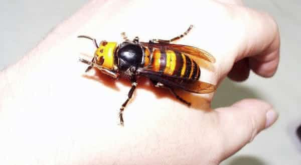 Vespa Japonesa Gigante entre os insetos mais perigosos do mundo