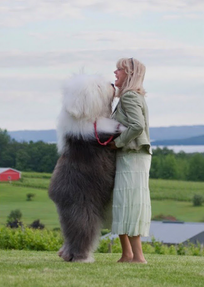 20 больших собак,которые забыли,что они большие большие, собаки
