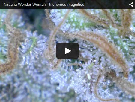 Close-up of the trichomes on a Wonder Woman cannabis plant