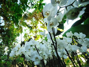 Forêt de Phaleanopsis