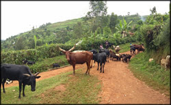 A Rift Valley Fever outbreak in Kabale District, Uganda was associated with livestock.