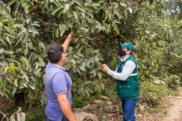 Senasa inició certificación de lugares de producción de palta en Bolívar