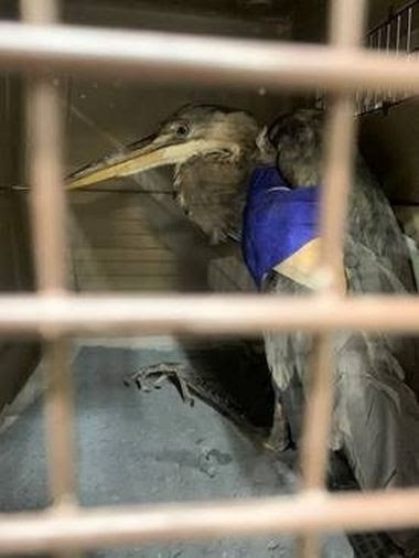 large bird in cage with wing wrapped up