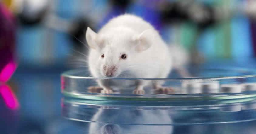 Científicos logran curar la diabetes en ratones